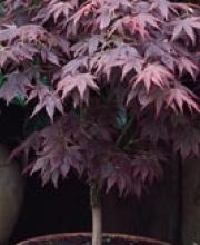 acer-palmatum-(klen-veernyi)-atropurpureum-3787-B