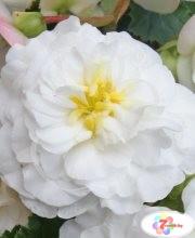 begonia-fortune-white-6369-p