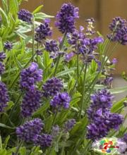 Lavandula-angustifolia-Mini-Blue