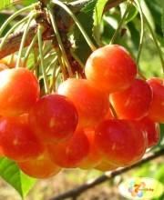 chereshnya-sopernica-podvoj-vegetativnyj