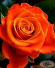 roza-monika-posadka-i-uhod