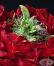 roza-red-eye