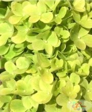 Гортензия метельчатая (Hydrangea paniculata Mojito P9)