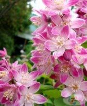 Kalmiiflora 4
