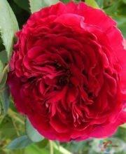 Rose des 4 Vents 1